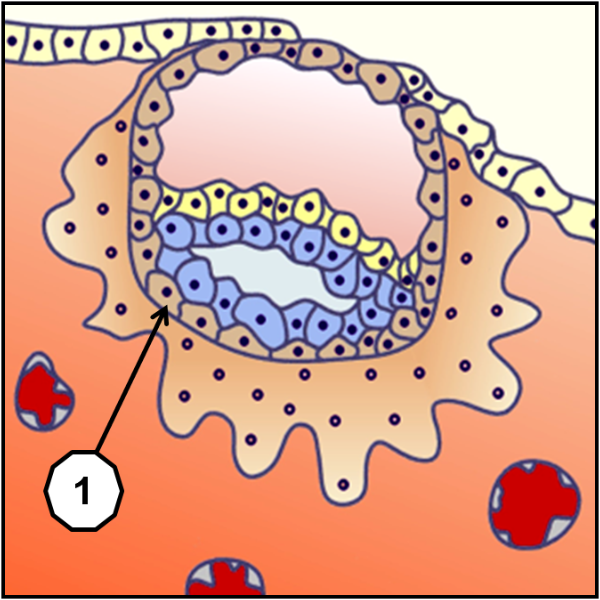 Синцитиотрофобласт